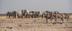 Olifanten Zebra's van