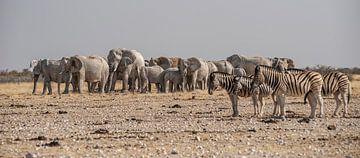 Olifanten Zebra's von Albert van Heugten