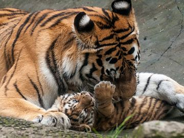 Tigre de Sibérie : Parc animalier d'Amersfoort sur Loek Lobel