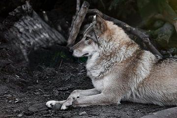 La femelle loup est magnifiquement couchée sur le sol, imposante. Puissant animal gracieux dans la f sur Michael Semenov