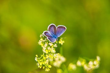 De blauwe fee von Andras Veres