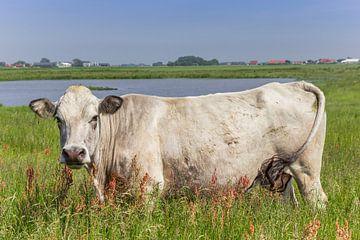 Witte piemontese koe in het landschap van Texel van Marc Venema