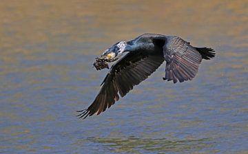Vliegende Aalscholver in broedkleed van Michel de Beer