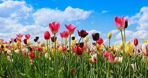 tulip field in various colors van Susanne Bauernfeind