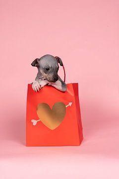 Amerikaanse Haarloze Terrier puppy zit in een rode papieren tas met gouden hart tegen een roze achte van Leoniek van der Vliet