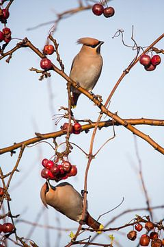 Vogels   Pestvogels in een sierappelboom van Servan Ott