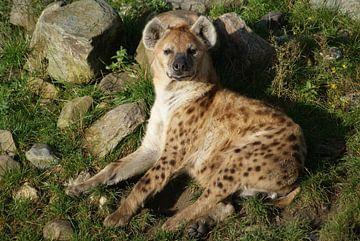 Gevlekte hyena  van Ronald en Bart van Berkel