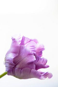 Tulip van Petra ter Veer