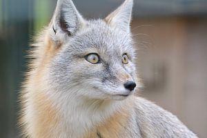 Steppen vos / steppe fox van Pascal Engelbarts