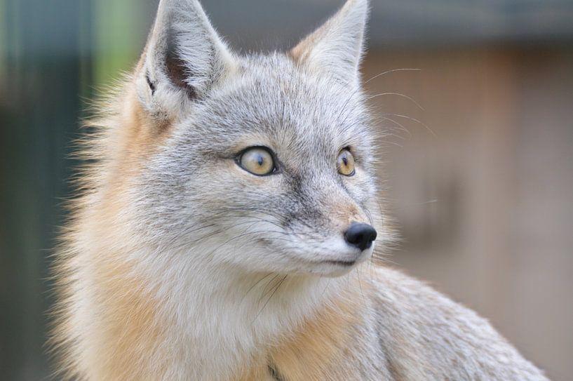 Steppen vos / steppe fox von Pascal Engelbarts