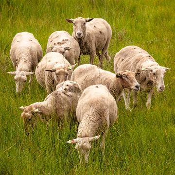 Huit moutons dans l'herbe haute et fraîche sur Michel Seelen