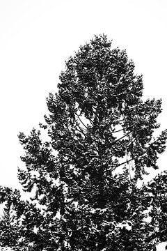 Nadelbaum-Spitze mit schneebedeckten Spitzen von Jörg Hausmann