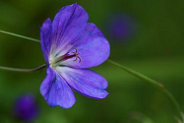 Bloem van geranium, gekweekte vorm met lilablauwe bloemblaadjes, macro-opname met focus op stamper e