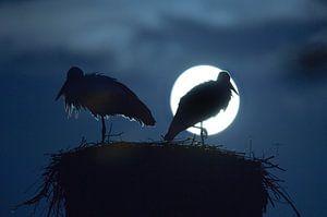 Ooievaars bij volle maan