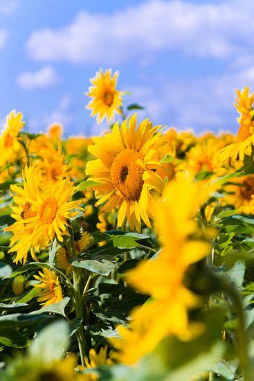 Zonnenbloemen van Studio  Milaan