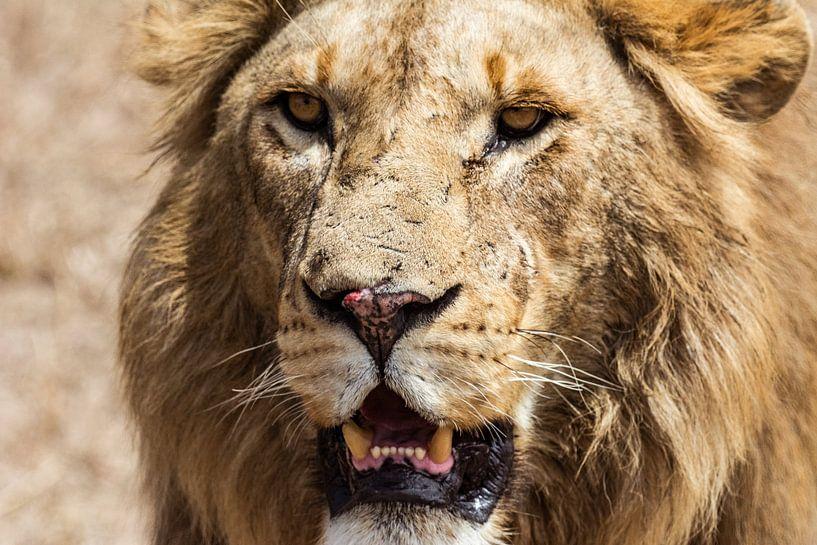 Serengeti Leeuw van Ronne Vinkx