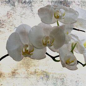 witte  Orchideeën van Christine Nöhmeier