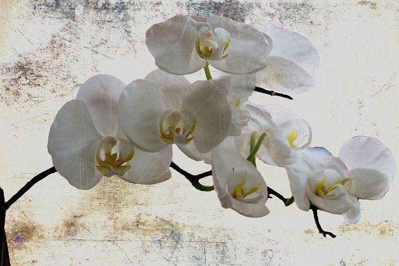 Ganz in weiss..... - Weiße Orchideen von Christine Nöhmeier