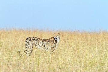 Le guépard dans l'herbe sur Angelika Stern