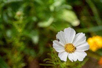 Weiße Blüte mit Insekten von Fartifos