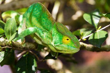 Groene kameleon in Madagaskar van Dennis van de Water