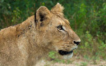 Leeuwin kijkend naar de prooi, Zuid Afrika van
