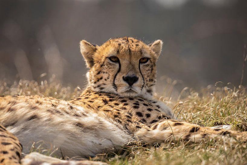 Cheetah of Jachtluipaard van Gert Hilbink