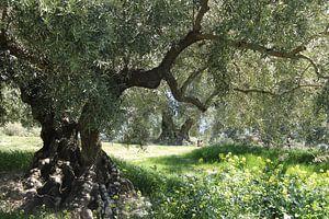 Oude olijfboom in het voorjaar II van Jan Katuin
