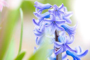 Blauwe bol hyacint in het veld van Fotografiecor .nl