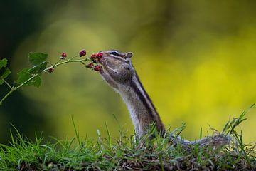 Eichhörnchen frisst Brombeeren von Henk Bogaard