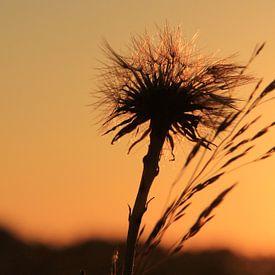 Sunset und Löwenzahn sur Fotografie Sybrandy