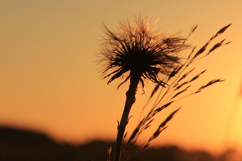 Sunset und Löwenzahn von Fotografie Sybrandy