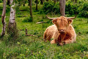 Schotse Hooglander bollenkamer Texel