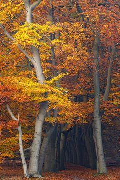 Magische Herbstfarben im Buchenwald, Utrechtse Heuvelrug, Niederlande von Sjaak den Breeje