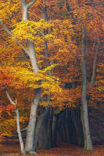 Magische herfstkleuren in het beukenbos, Utrechtse Heuvelrug, Nederland van Sjaak den Breeje Landschapsfotografie