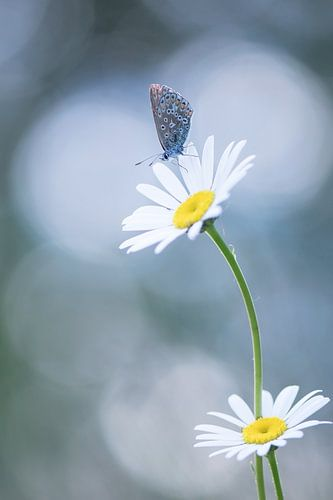 Vlinder in mooi licht. van Francis Dost