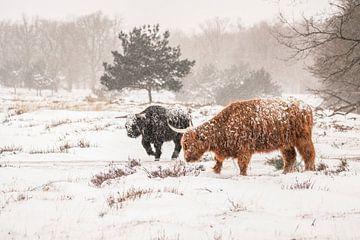 Schottischer Highlander im Schnee. von Albert Beukhof