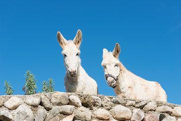 Twee ezels van Peter Schütte