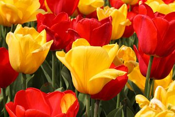 Tulpen / Blumen von Sabrina van Jeveren