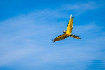 De blauwgele ara (Ara ararauna) van