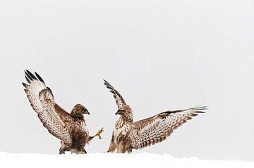 Buizerds vechtend in sneeuw van