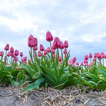 Tulpen von Cindy van der Sluijs