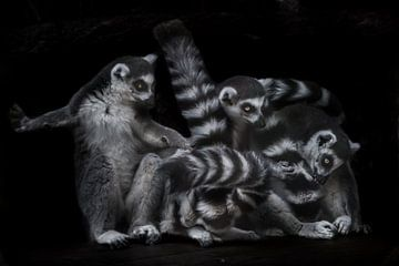 They are engaged in lemur business - combing and licking wool. Three Madagascar ring-tailed lemur on sur Michael Semenov