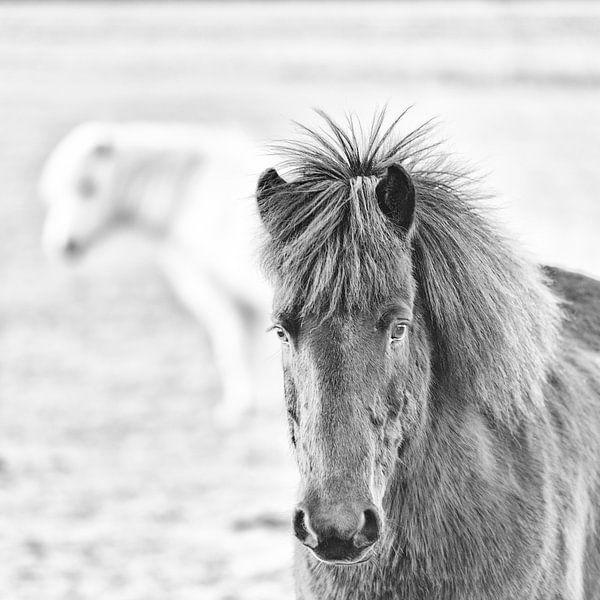 Thorsteinn sur Islandpferde  | IJslandse paarden | Icelandic horses