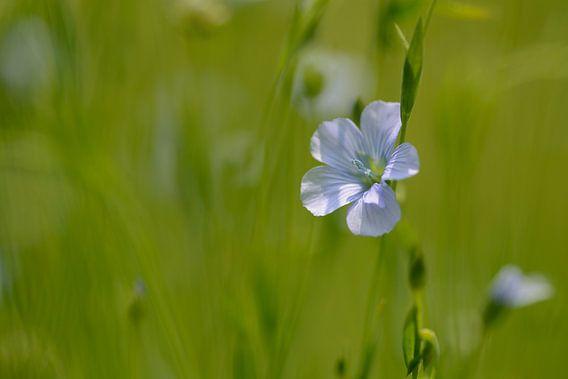 Blauwe bloemetjes van vlas van Gonnie van de Schans