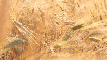 Zonlicht strijkt langs de graanvelden van Fotografiecor .nl