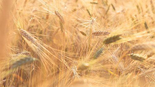 Zonlicht strijkt langs de graanvelden