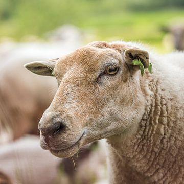 Tête de mouton sur Adri Rovers