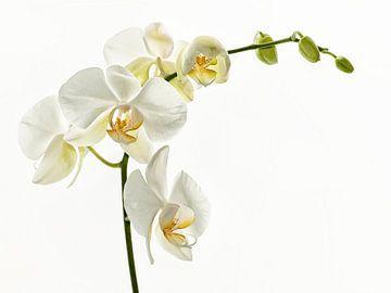 Witte Orchideae van Ellen Driesse