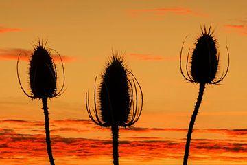 Kaardebol bij zonsondergang